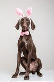 Vizsla狗当复活节兔子 库存图片