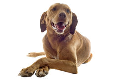 Vizsla. Portrait of a vizsla with pampered paw in front of white background Stock Photography