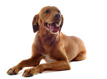 Vizsla Royalty Free Stock Images