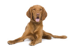 Vizsla ( 9 mois) stock photos