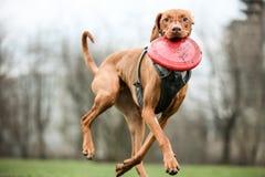 Vizsla com seu frisbee Fotos de Stock Royalty Free