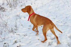 Vizsla dog Royalty Free Stock Photography