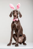Vizsla dog as easter bunny Stock Photography