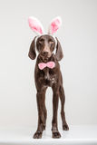 Vizsla dog  as easter bunny Royalty Free Stock Photos
