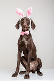 Vizsla dog  as easter bunny Stock Image