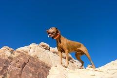 Vizsla dog on cliff Royalty Free Stock Photography