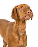 Vizsla Dog Close-Up With Lip Curled Royalty Free Stock Image