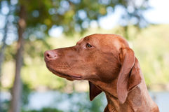 Vizsla Dog Closeup in the Forest. A closeup shot of a Vizsla dog in a forest with trees and green leaves in the background Royalty Free Stock Image