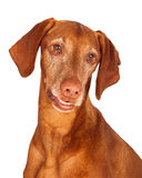 Vizsla Dog Closeup Looking Down Royalty Free Stock Photos