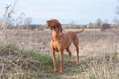 Vizsla Dog in a Field Stock Photo
