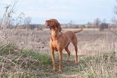 Vizsla Dog in a Field. A Vizsla dog stands in a field in autumn Stock Photo
