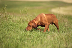 Vizsla dog in field Royalty Free Stock Images