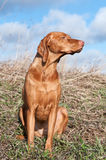 Vizsla Dog in a Field. A Hungarian Vizsla dog sits in a field Royalty Free Stock Images