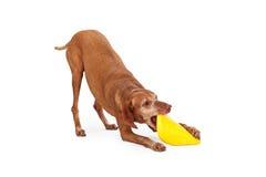 Vizsla Dog Grabbing A Frisbee Royalty Free Stock Photography