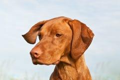 Vizsla Dog (Hungarian Pointer) Closeup. A closeup shot of a Vizsla dog that is turning its head Royalty Free Stock Image