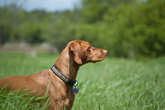 Vizsla Dog (Hungarian Pointer) in a Green Field Stock Images