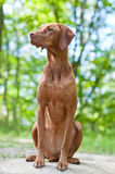 Vizsla Dog (Hungarian Pointer) Portrait. A shot of a Vizsla dog (Hungarian Pointer) sitting on a rock in the woods Royalty Free Stock Photo