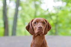 Vizsla Dog (Hungarian Pointer) Portrait Stock Photo