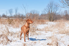 Vizsla dog (Hungarian pointer) in a snowy field. A Vizsla dog (Hungarian pointer) points at some birds in a snowy field in the winter Stock Photography