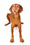 Vizsla Dog Laying Happy Expression Royalty Free Stock Photography