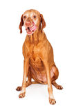 Vizsla Dog Licking Lips Stock Image