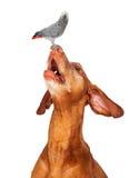 Vizsla dog looking up at a bird on his nose. An adult Vizsla dog looking up at perching bird  atop nose Stock Photography