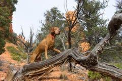 Vizsla dog outdoors. Pointer dog standing on driftwood in utah Stock Image