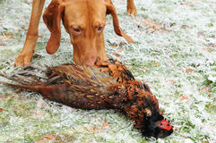 Vizsla dog and phaesant Stock Photos