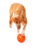 Vizsla dog playing with toy Royalty Free Stock Photography