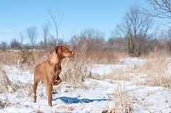 Vizsla Dog Pointing in a snowy field. A vizsla dog pointing in a snowy field in winter Stock Image