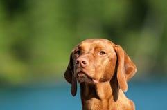 Free Vizsla Dog Portrait Royalty Free Stock Image - 26071276