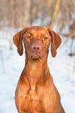 Vizsla Dog Portrait in winter. A close-up shot of a female Vizsla dog in a snowy field Stock Photo