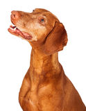 Vizsla Dog Profile Looking Up Royalty Free Stock Photos