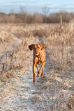 Vizsla Dog Running down a Snowy Path in Winter Stock Photography