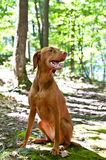 Vizsla Dog Sitting in the Forest. A Vizsla dog sits on a path through a forest with trees and green leaves in the background Stock Photography