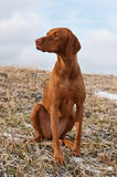 Vizsla Dog Sitting in a Snowy Field Royalty Free Stock Photography