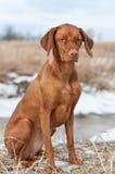 Vizsla Dog Sitting in a Snowy Field. A portrait of a Vizsla dog sitting in a snowy field Royalty Free Stock Image