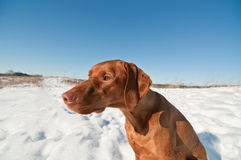 Vizsla Dog Sitting in a Snowy Winter Field. A Vizsla dog (Hungarian pointer) sits in a snowy field in winter Royalty Free Stock Images