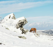 Vizsla dog in the snowy winter landscape Royalty Free Stock Images