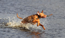 Vizsla dog splashing in water Royalty Free Stock Image