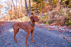 Vizsla Dog Standing on a Road in Autumn. A Vizlsa dog stands on a gravel road in autumn Royalty Free Stock Photo