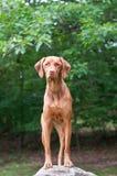 Vizsla Dog Standing on a Rock. A Hungarian Vizsla dog stares at something while standing on a rock Stock Images