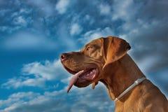 A vizsla dog sticks out its tongue Royalty Free Stock Photography