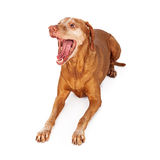 Vizsla Dog Talking Royalty Free Stock Photo