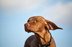 Vizsla Dog on a Windy Day. A Vizsla dog's ears are blown back by the wind Royalty Free Stock Images