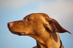 Vizsla Dog on a Windy Day. A Vizsla dog's ears are blown back by the wind Royalty Free Stock Photos