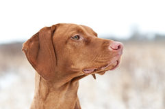 Vizsla Dog in Winter. A closeup shot of a Vizsla dog in a field in winter Stock Photo
