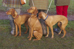 Vizsla dogs. Three dogs (Hungarian Vizsla breed) by legs of three people Royalty Free Stock Images