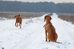 Vizsla dogs. Hungarian vizsla hunting dogs in the snow Stock Image