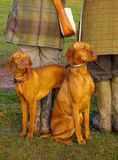 Vizsla dogs. Two dogs (Hungarian Vizsla breed) by legs of two people Royalty Free Stock Photos